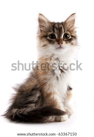 Beautiful siberian kitten