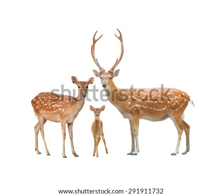 beautiful sika deer family  isolated on white background #291911732