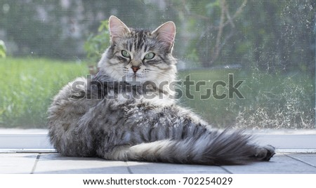 Beautiful silver female siberian cat, hypoallergenic type of cat