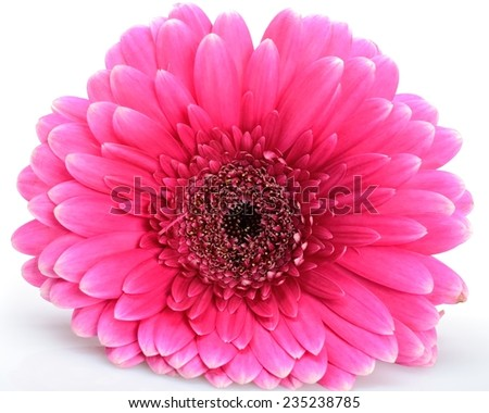 Beautiful single flower pink gerberas lying on a white