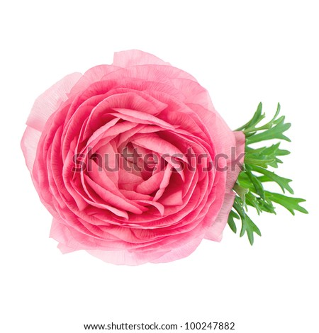 beautiful single flower pink ranunculus isolated on white background