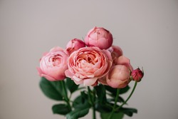 Beautiful single multi headed tender pink rose silva flower on the wall background, close up view