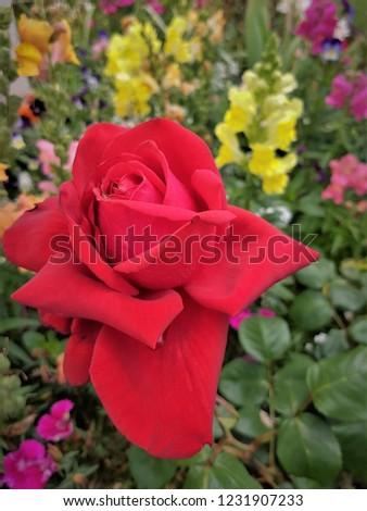 beautiful single rose