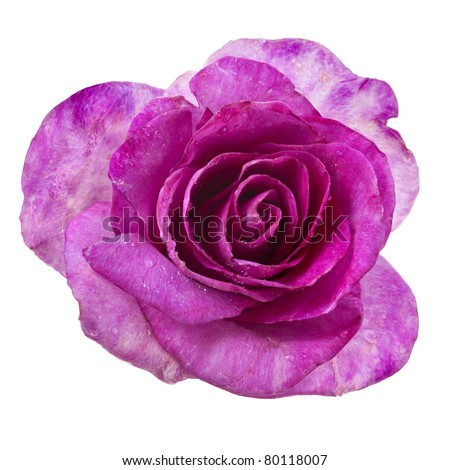 beautiful single rose head  isolated on a white background