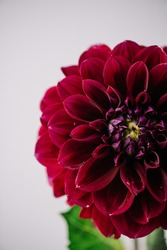 Beautiful single tender burgundy coloured Dahlia flower on the grey wall background, close up view