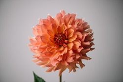 Beautiful single tender coral coloured Dahlia flower on the grey wall background, close up view