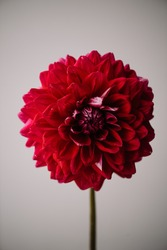 Beautiful single tender red Dahlia flower on the grey wall background, close up view