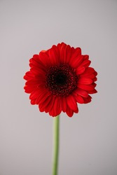 Beautiful single tender red Gerbera daisy flower on the grey wall background, close up view