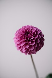 Beautiful single tender vivid purple Dahlia flower on the grey wall background, close up view
