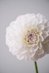 Beautiful single tender white and pastel purple flower on the grey wall background, close up view