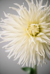 Beautiful single tender white Dahlia flower on the grey wall background, close up view