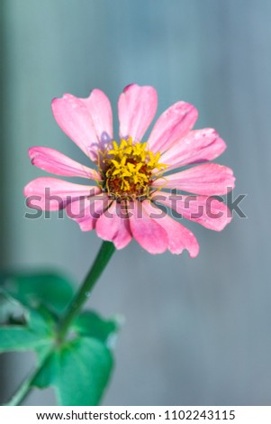 Beautiful single zinnia flower on a long stem, with soft focus gray background. Zinnias are drought tolerant annuals native to SW US, Mexico & South America. Concepts of romance, love and happiness #1102243115