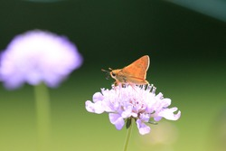 Beautiful skipper moth brown furry body tiny antenna large eyed winged gathering pollen nectar on pretty purple flowers long stems attractive vivid green background sunny summer day Nottingham USA