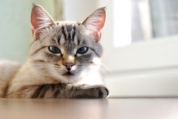 Beautiful sleepy cat with blue eyes lying resting on a wooden window sill in the sunlight enjoying a lazy day, low angle view