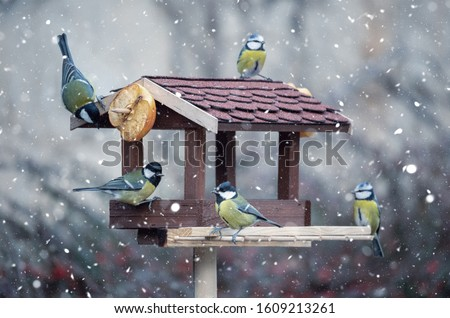 Photo of  beautiful small garden bird great tit - Parus major and Eurasian blue tit - Cyanistes caeruleus, feeding in winter time in bird feeder. Snowy winter day on garden