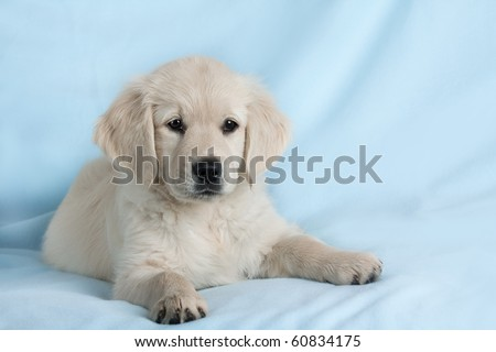 golden retriever wallpaper. images Golden Retriever Puppy