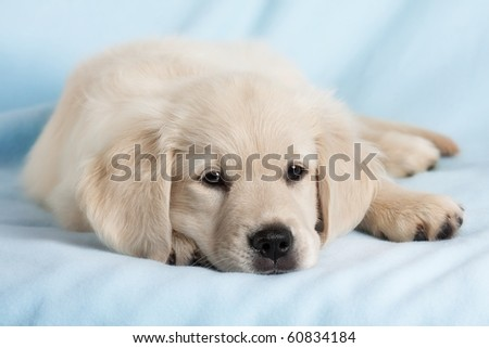 Beautiful small puppy on blue background - golden retriever - stock photo