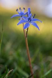 beautiful small purple, scilla bifolia, spring flower on meadow