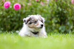 Beautiful small shetland sheepdog sheltie puppy with flowers on the background. Photo taken on a warm summer day.