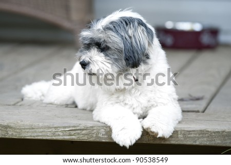 Beautiful small white dog laying on the doorstep