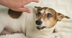 beautiful small white dog with brown spot lies on white towel and growls at lady hand over animal back at home close view