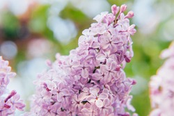 Beautiful smell violet purple lilac blossom flowers in spring time. Close-up blossom twigs of lilac. Inspirational natural floral spring blooming garden or park. Colorful ecology nature landscape