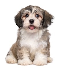 Beautiful smiling little havanese puppy dog is sitting frontal and looking at camera - isolated on white background