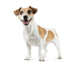 Beautiful smiling young dog Jack Russell terrier full-length. White background