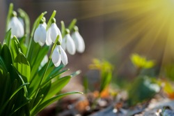 Beautiful snowdrops on bokeh background in sunny spring forest under sunbeams. Easter picture with copy space.
