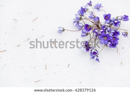 Beautiful snowdrops on snow background. first spring flowers. Beginning of spring in a forest. Wild flowers. spring concept.