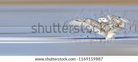 Beautiful Snowy Owl #1169159887