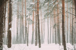 Beautiful Snowy White Forest In Winter Frosty Day. Snowing In Winter Frost Woods. Snowy Weather. Winter Snowy Coniferous Forest. Blizzard in Windy Day.