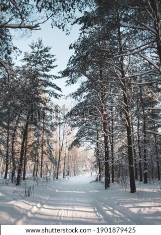 Beautiful snowy winter in Bialowieza Forest Zdjęcia stock ©