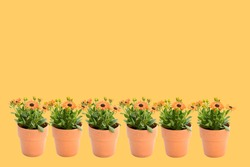 Beautiful soft orange Arctotis Flower blooming and growing with green leaves and branch in orange pot on orange background and clipping path, space for text, plant for flower garden concept.