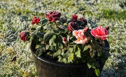 Beautiful Soft Pink And Dark Red Roses In The Black Ceramic Pot, Sunlight And Frost In The Garden.