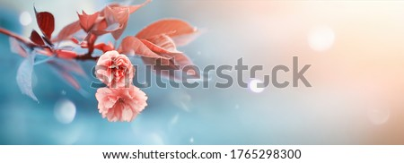 Beautiful soft spring background. Pink flowers on cherry tree branch on blue and pearl pastel background, soft focus macro. Expressive artistic image of spring nature, ultra wide format. Copy space.