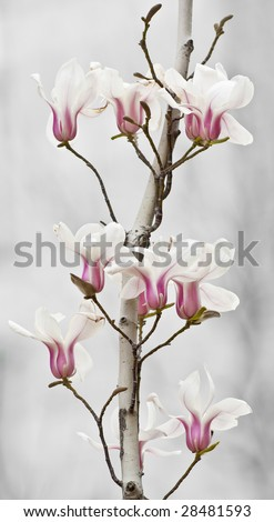 Beautiful soft white magnolia's on bright background