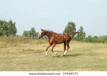 Beautiful sorrel mare of Russian Don breed runs on the meadow.