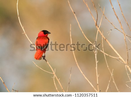 beautiful southern red bishop