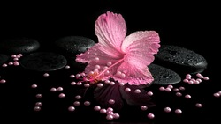 Beautiful spa setting of delicate pink hibiscus, zen stones with drops and pearl beads on water