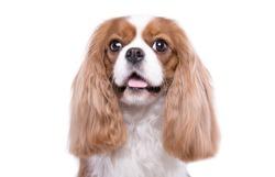 Beautiful spaniel dog. Animal portrait. Stylish photo. White background. Collection of funny animals