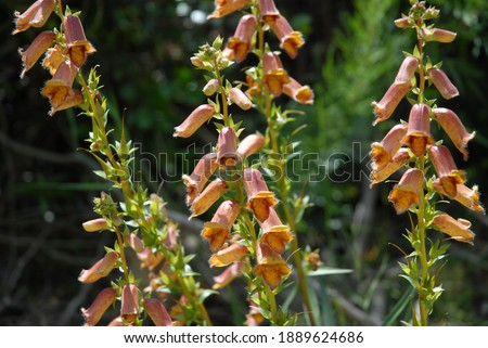 Beautiful Spanish foxgloves, also known as Digitalis obscura, in flower in the wild in Alicante Province, Spain Stock fotó ©