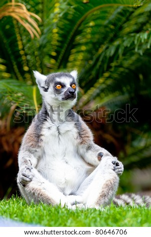 Beautiful specimen of Lemur of ring-shaped tail taking up a curious pose