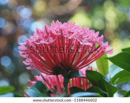 Free photos pink spike flowers with green leaf on tree colorful beautiful spike flower blooming red flower spike and green leaves pink flower spike mightylinksfo