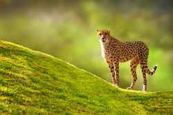 Beautiful spotted Cheetah standing on a green grass hill with a blurred tree background looking forward at the camera