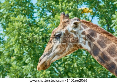 Beautiful spotted giraffe with long neck in zoo on background of green trees #1401662066