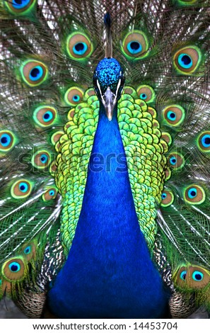 Beautiful spread of a peacock with feathers on full display.
