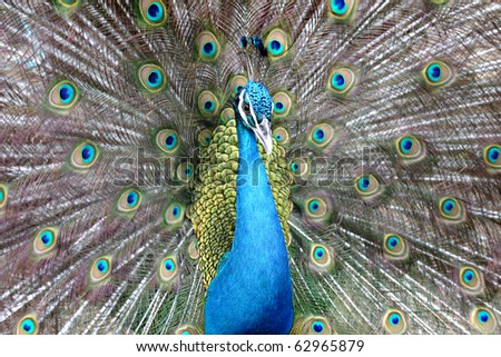 Beautiful spreading of Indian peacock.