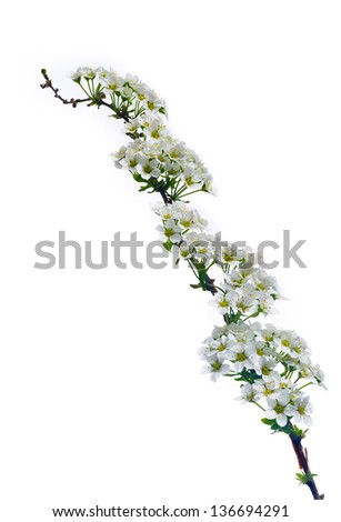 Beautiful Sprig of Spirea isolated on white, in the Springtime in England