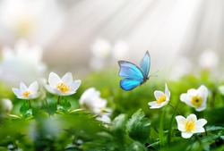 Beautiful spring  background with blue butterfly in flight and flowers anemones in forest on nature. Delicate elegant dreamy airy artistic image harmony of nature.